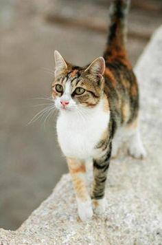 longhaired havana brown cat   Aegean Cat