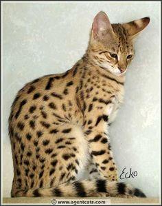 Savannah cat. I want one so bad.