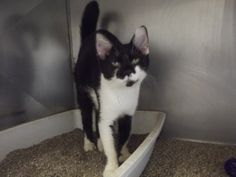 Oreo is an adoptable Domestic Short Hair-Black And White Cat in Shelbyville, IN. It was late May and we received a phone call about a kitten that needed picked up in an apartment on East Pennsylvania ...