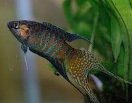 Op zoek naar mooie en makkelijke (labyrintvissen) vissen? Dan is de Goerami (gourami) iets voor jou! Lees hier alles over de top 5 mooiste goerami!