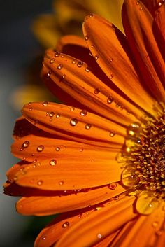 who doesn't feel better after receiving a bunch of orange gerbera's? Orange Flowers, My Flower, Orange Color, Beautiful Flowers, Beautiful Pictures, Orange You Glad, Orange Is The New, Orange Aesthetic, Orange Crush