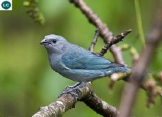 https://www.facebook.com/WonderBirdSpecies/ Blue-gray tanager (Thraupis episcopus); Central and South America; IUCN Red List of Threatened Species 3.1 : Least Concern (LC)(Loài ít quan tâm)    Chim Tanager xanh-xám; Trung và Nam Mỹ; HỌ TANAGER - THRAUPIDAE (Tanagers).