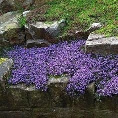 Creeping Thyme (Thymus Serpyllum Mother of Thyme) - Edge the borders of your herb, flower or vegetable garden with Mother of Thyme seed. It is low-growing and spreading, with spikes of lavender bloom… Garden Shrubs, Diy Garden, Shade Garden, Garden Plants, Garden Landscaping, Landscaping Ideas, Pergola Ideas, Rustic Landscaping, Shade Landscaping
