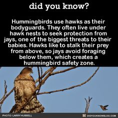 Hummingbirds use hawks as their bodyguards. They often live under hawk nests to seek protection from jays, one of the biggest threats to their babies. Hawks like to stalk their prey from above, so jays avoid foraging below them, which creates a hummingbird safety zone. Source