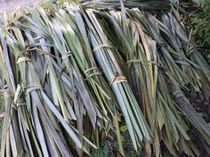 Karakia and the appropriate protocols when harakeke is cut to use Flax Weaving, Flower Farmer, Maori Art, School Resources, Natural Resources, Art Therapy, Things To Know, Homesteading, Sustainability