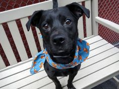 ♥ SAFE ♥ http://nycdogs.urgentpodr.org/nicco-a1071323/ ***TO BE KILLED – SURRENDERED BECAUSE HE IS TOO  PLAYFUL*** NICCO is a 4 year old neutered Patterdale terrier mix who was RARELY WALKED, NO TOYS & SENT TO HIS CRATE WHEN HE WAS TOO ACTIVE. Yet, he is still friendly with strangers, good on leash, master at the snuggling, loves baths and brushing and – get this smart dude – knows how to open doors and turn on the faucet when he's thirsty. ♥ PLEASE, ADOPT THIS SUPER SMART CUDDLER NOW ♥