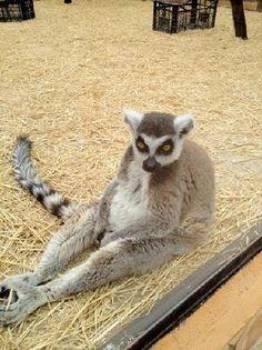 Tenerife Zoo Monkey Park: up close and friendly lemur #animal #travel