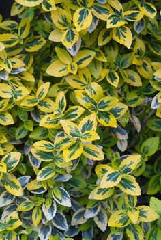 green and gold leafy plant | Euonymus fortunei Emerald N Gold variegated green and yellow foliage ...