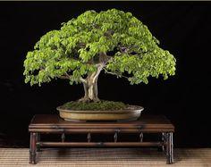 Brazilian Rain Tree (Pithecellobium Tortum) Bonsai Tree