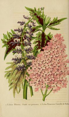Coleus and Lilac - circa 1851