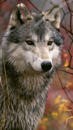 Wolf. SO BEAUTIFUL! ► Credit to:Samuel Côté! ✔︎SamPage