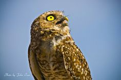 (Photo art for sale)  Burrowing Owl on the Look Out ---- bird, birds, owl, owl bird, Burrowing Owl, avian, ornithology, wildlife, animals, animal, perch, colorful, branch, nature, sunlight, day, outdoors, Arizona, evening spring, summer, long legs, fall, winter, southern song bird, forest, forest bird, tree bird, nature, beak, branch, claw, perch, plumage, migrate, whistles, john tarr photographer, photography, photo, image, digital, on the look out,  yellow eye's, Athene cunicularia