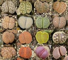 I must buy some of these Lithops (Living Stone Succulents) These make me happy