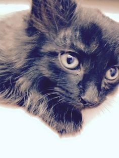 Bunny is an adoptable Domestic Long Hair-black and white searching for a forever family near Middletown, OH. Use Petfinder to find adoptable pets in your area.