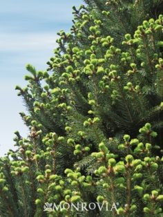 Columnar Norway Spruce Fast growth to 20 ft. tall and 5 – 6 ft. wide in ten years; eventually to 30 ft. Norway Spruce, Evergreen Shrubs, Garden Design, Plants, Garden Guide, Gardening Zones, Gardening Blog, Shrubs For Privacy, Landscaping Plants