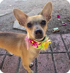 New York, NY - Chihuahua/Dachshund Mix. Meet Tinkerbell!, a dog for adoption…