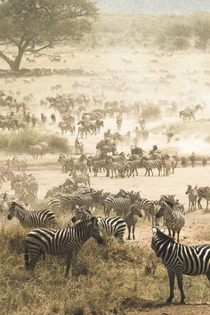 Zebra migration in Serengeti National Park, Tanzania, Africa Beautiful Creatures, Animals Beautiful, Cute Animals, African Animals, African Safari, Zebras, Wildlife Photography, Animal Photography, Amazing Photography