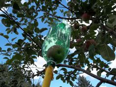 Soda bottle apple picker  Genius! This would've been helpful at our old house, all the good apples were too high up.