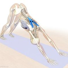 lower trapezius and serratus anterior - downward facing dog pose Yoga Bewegungen, Yoga Moves, Yoga Meditation, Asana, Postural, Dog Poses, Yoga At Home, Back Exercises, Pilates Workout