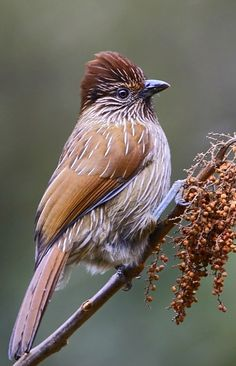 Striated Laughingthrush, Garru-lax striatus: IN subcontinent temperate regions. photo: Rajiv Lather
