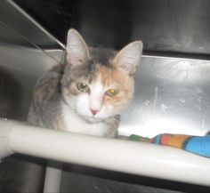 **URGENT**SHE IS RUNNING OUT OF TIME**VOLUNTEERS SAID SHE IS CRYING...NOT SICK**SHE HAS PULLED AT THEIR HEARTSTRINGS AND THEY REALLY WANT TO SAVE HER...THEY FELL IN LOVE WITH HER...THEY DON'T WANT TO SEE HER FALL THRU THE CRACKS AND END UP KILLED! I NOTICED THE KITTIES ARE HAVING A HARDER TIME GETTING FOSTERS OR ADOPTERS ....PLEASE SOMEONE EMAIL TO FOSTER HER...ASAP....URGENT....  mail cats@angelsrescue.org if you can save this sweet kitty's life!! Thank you! ♥  DANA