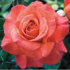 Sedona Coral-Red Hybrid Tea Rose:  A heavenly sweet pear fragrance.