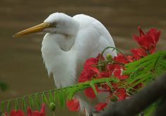 Foto garça-branca-grande (Ardea alba) por Evandro Santos | Wiki Aves -