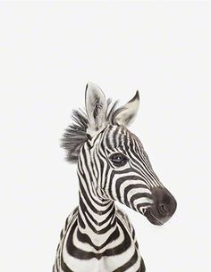 Gorgeous baby zebra animal nursery photographic print by Sharon Montrose of the Animal Print Shop - wide range of delightful baby animals prints for your children's wall decor. Cute Baby Animals, Animals And Pets, Funny Animals, Safari Animals, Animal Print Shop, Animal Prints, Tier Fotos, Mundo Animal, Belle Photo