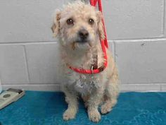 #A475657 Release date 11/18 I am a male, white and apricot Poodle - Miniature mix. Shelter staff think I am about 3 years old. I have been at the shelter since Nov 11, 2014. For more information about this animal, call: San Bernardino City Animal Control at (909) 384-1304 https://www.facebook.com/photo.php?fbid=10203928883240030&set=a.10203202186593068&type=3&theater