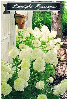 Limelight Hydrangeas. Planted these this weekend.  Yeah I'm in love......