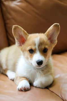 The Queens corgis — Handsome pup posing for the camera at...