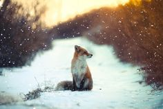 """* * FOX: """" Justs great. Snowin' messes up me huntin' wif de trax it leaves; altho me kin always follow others' tracks if meez downwind."""""""