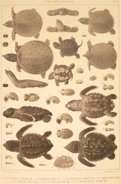 BibliOdyssey: The Embryology of Turtles Wonderful Blog! Such a great individual for capturing this data!