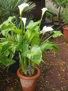 Калла эфиопская - Калла - Красивоцветущие растения - Комнатные растения - GreenInfo.ru