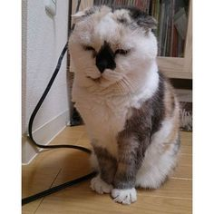 ふくろうではありません#スコティッシュフォールド #cat#ねこ#猫#ふわもこ部non_mamu2016/03/16 16:14:02