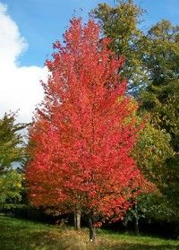 This Red Maple is a Florida native. The leaves turn a nice, bright red in the fall. Red Maple is a nice shade tree and adds a northern touch.