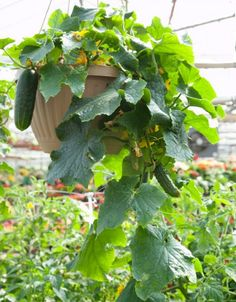 How To Grow Cucumbers From Seed Oh hanging pot! Good idea for cukes, I'll do one of those too!