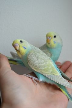 Budgies, Budgies and more Budgies!