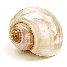 Learn how to create a realistic shell in watercolor…