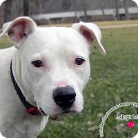 Pictures of Penny a Pit Bull Terrier Mix for adoption in Sidney, OH who needs a loving home.