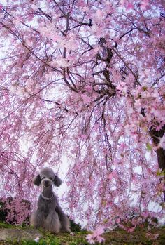 blossoms of the weeping cherries.