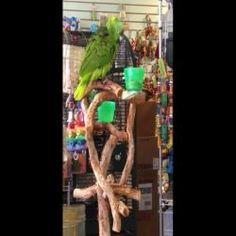 Esse papagaio canta melhor do que voce