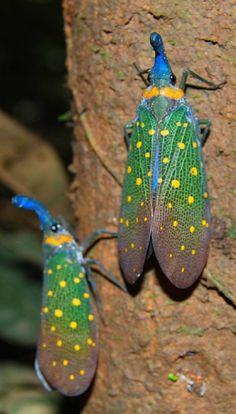 Lanternflies from the rainforest of Borneo