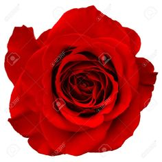 Single Red Rose Stock Photos, Pictures, Royalty Free Single Red ...