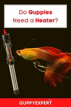Water Heating, Water Cooling, Aquarium Heater, Guppy, Tropical Fish, Fish Tank, Survival, Aquarium