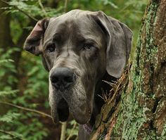 #Great #Dane | #Greatdane #dog #breed #portrait | #Danes #dogs