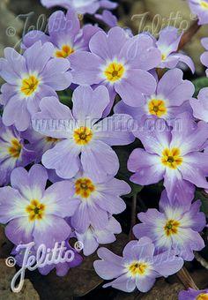 PRIMULA vulgaris ssp. sibthorpii   Portion(en)