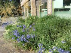 Grasses and agapanthus at Kew Gardens