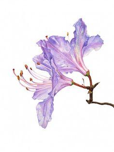 "Anna Mason Art | Rhododendron Botanical print from an original watercolor £60 9"" x 12"" Shipped worldwide http://annamasonart.com"