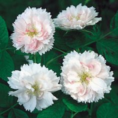'Fimbriata' aka Phoebe's Frilled Pink (Rugosa Hybrid) - Morlet, France, 1891; pale pink blooms and large rugosa leaves; small flowers with serrated petals; very fragrant and the bloom is continuous; disease-resistant; bright green foliage that turns bright orange in fall; very few hips; disease-resistant; hardy;3-4'; Z3